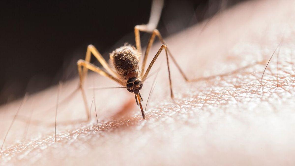 Los mosquitos más peligrosos y enfermedades que transmiten