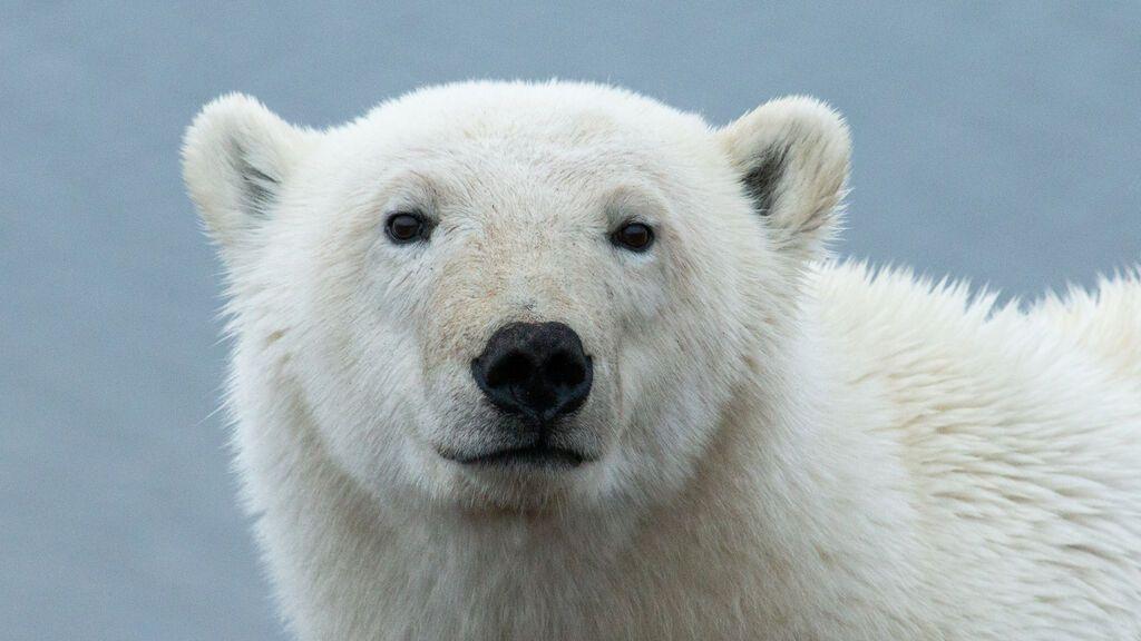 Rescatan a una osa polar en Siberia en muy mal estado que recorrió mil kilómetros desde el Ártico