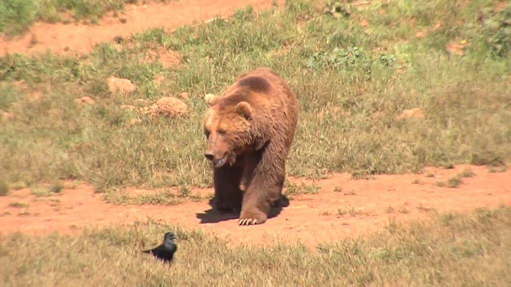 Una mujer herida por el ataque de un oso en Asturias