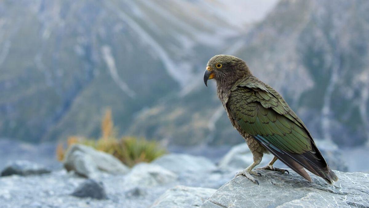 El loro alpino de Nueva Zelanda se cambió de hábitat para huir de los humanos