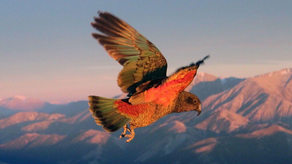 Kea volando