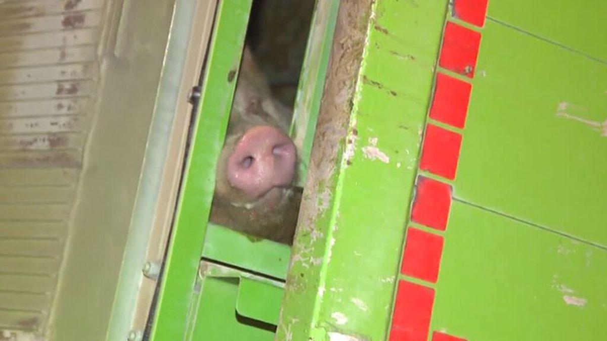 El accidente de un camión lleno de cerdos provoca atascos en la A-2 de Madrid