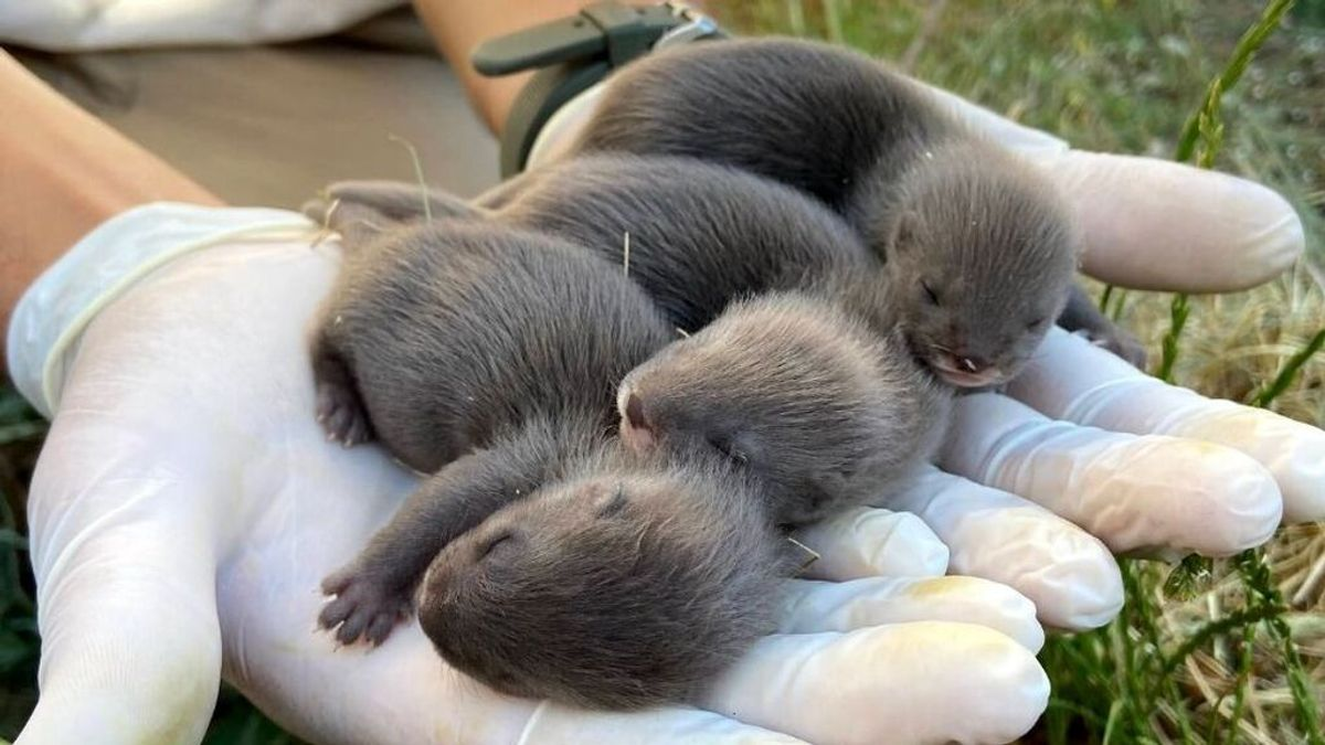 Nacen en Toledo tres crías de visón europeo, el mamífero más amenazado del continente