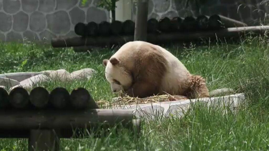 Qizai, el único oso panda marrón y blanco del mundo, podrá ayudar a revivir su especie