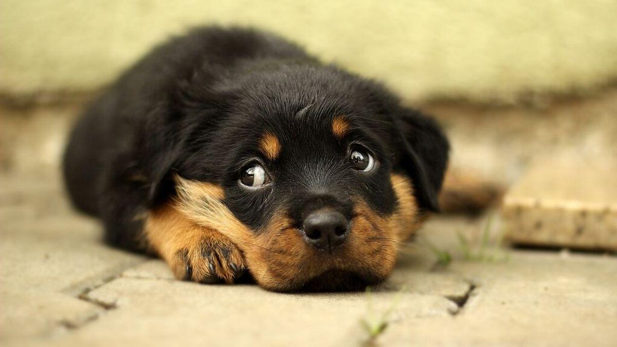 Demuestran que los cachorros de perro nacen ya predispuestos a socializar con los humanos