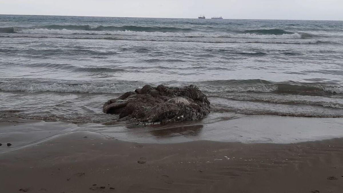 Aparece el cadáver de un calamar gigante en la playa del Gurugú en Castellón