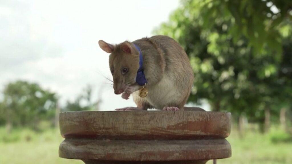La rata Magawa se jubila tras años salvando vidas