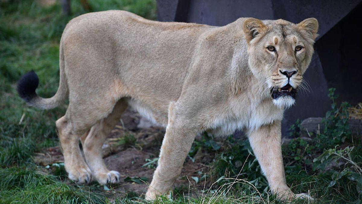 Muere una leona por covid19 en un zoológico de la India en la que otros 11 felinos están contagiados