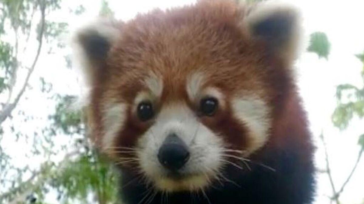 Selwo Aventura recibe un panda rojo macho, una especie en peligro de extinción