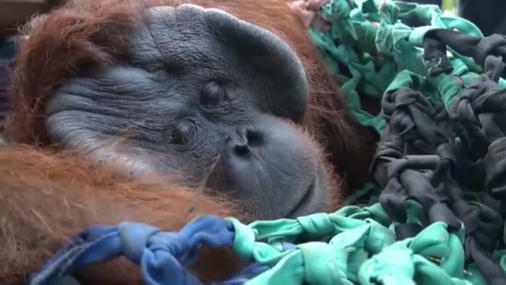 Odisea para devolver al bosque a Jala, un orangután de Borneo rescatado