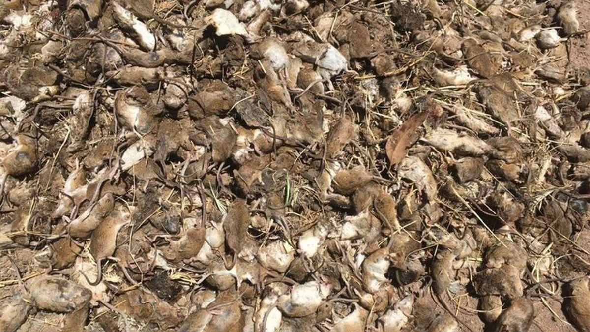El vídeo de un granjero matando ratones en Australia desata la polémica: asegura que la plaga le está arruinando