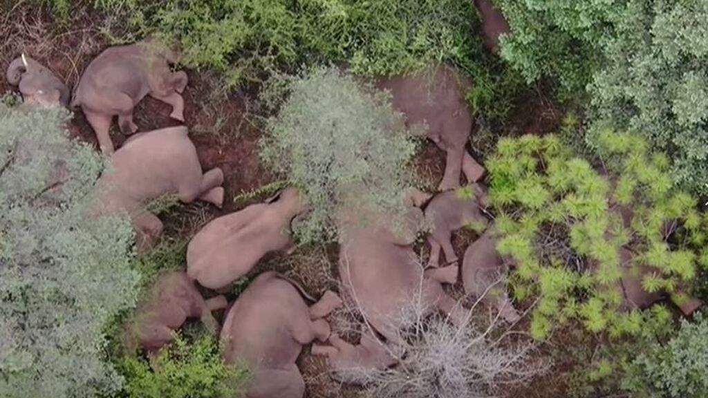La marcha de una manada de elefantes: recorren 500 kilómetros en China durante un año
