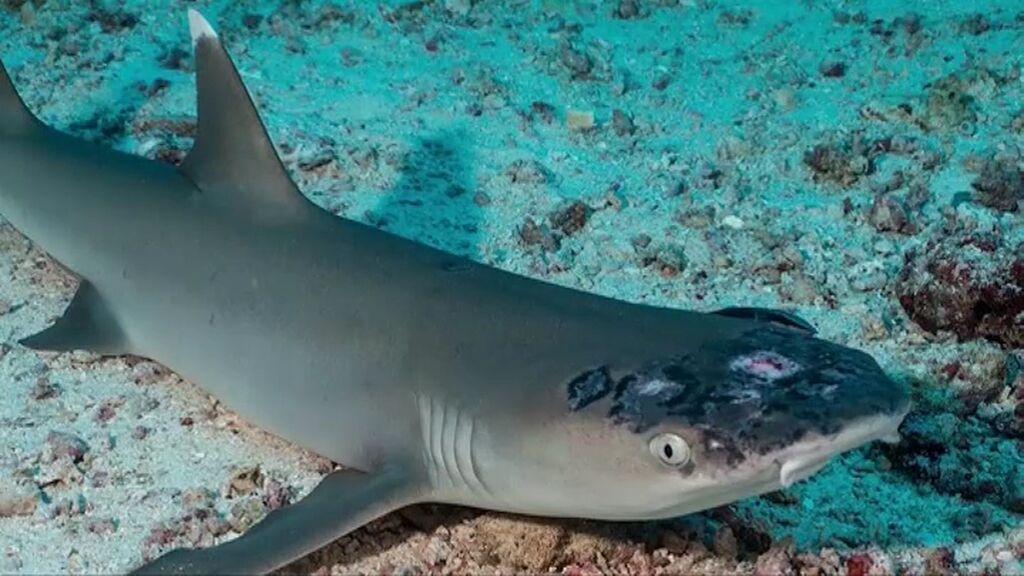 Observan misteriosas manchas en la cabeza de los tiburones de Malasia