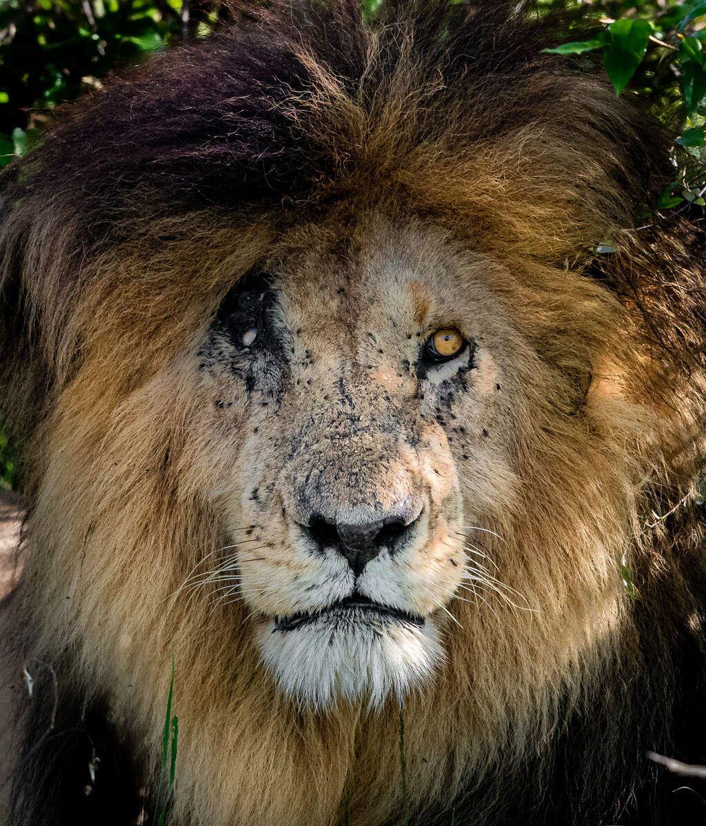 Muere Scarface, el popular león de Kenia: ¿Por qué fue tan famoso?