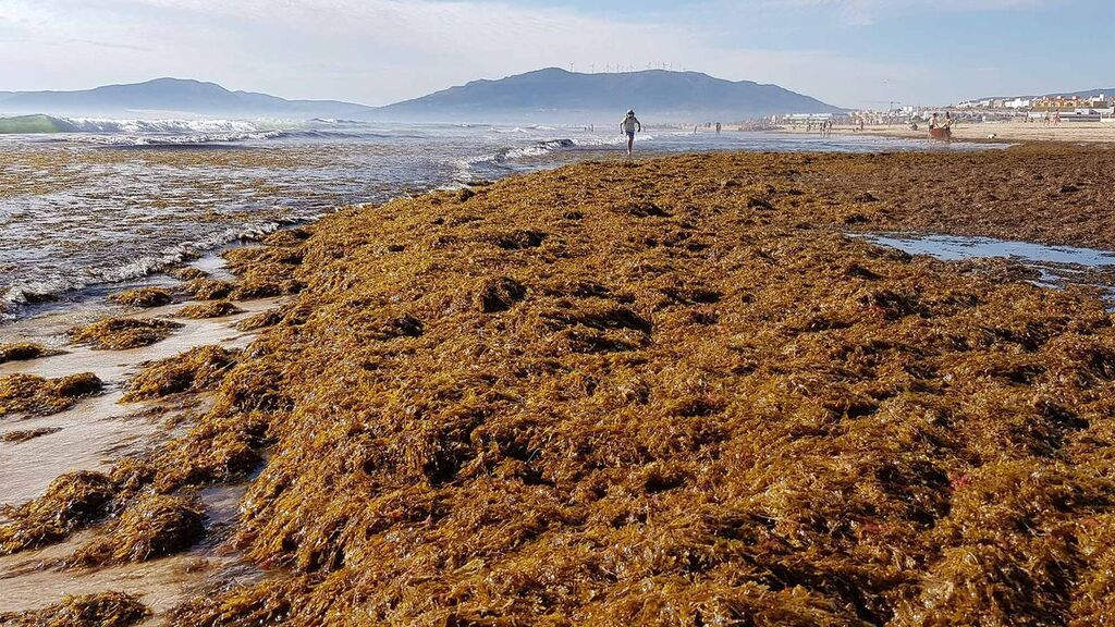 Rugulopteryx okamurae, el alga invasora que amenaza a España: procedencia y zonas afectadas