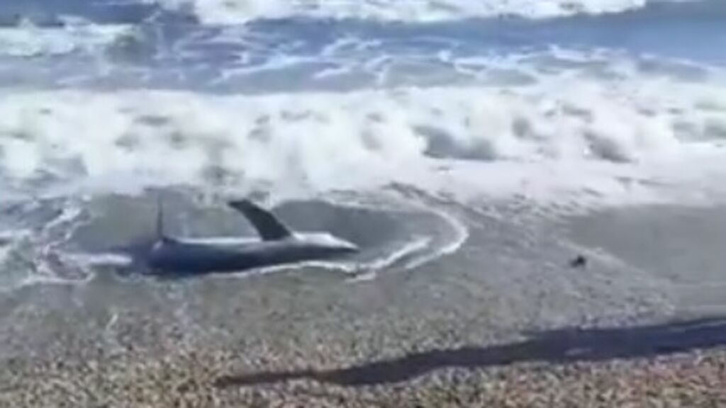 Aparece un tiburón vivo en la orilla de una playa de Almería