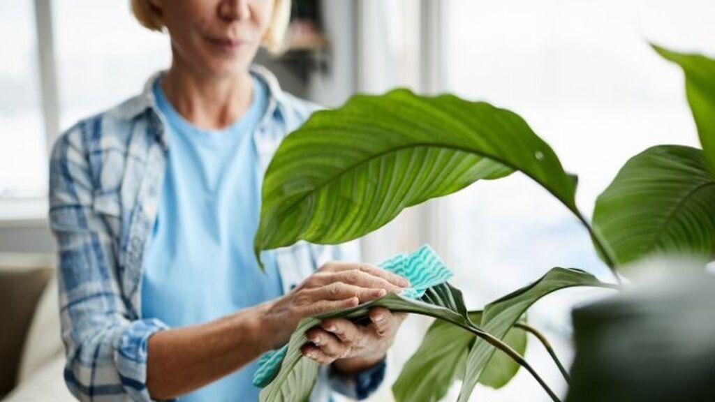 Para limpiar las hojas se podrá hacer uso de una brocha o un cepillo.
