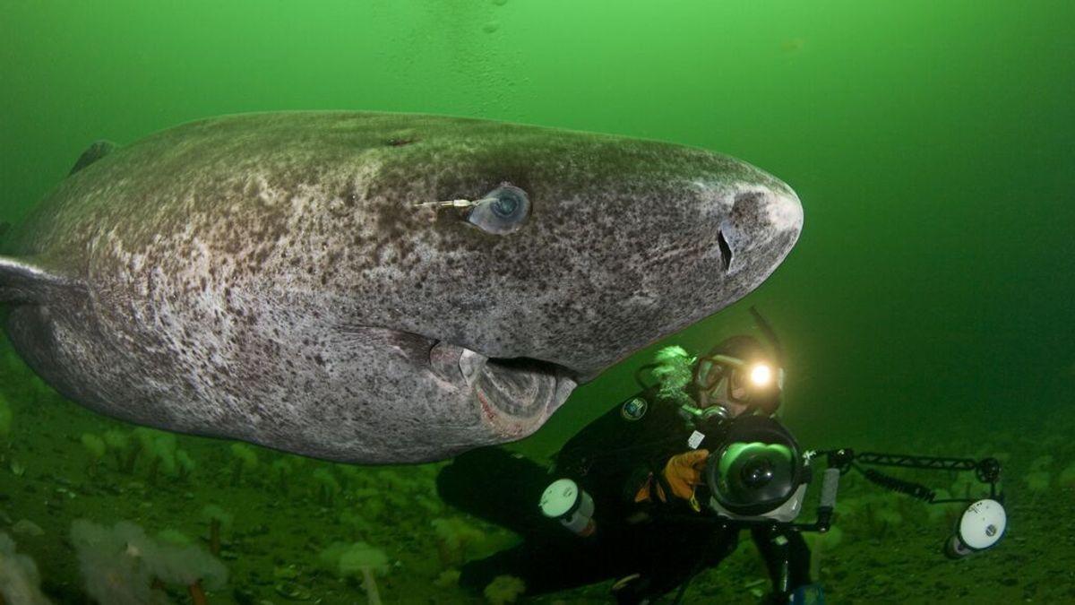 Este tiburón ciego vive hasta 500 años y es el vertebrado más longevo de la Tierra