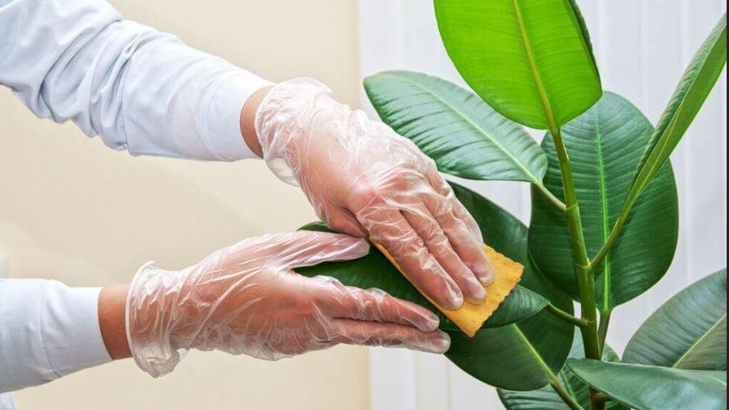 Será importante limpiar la planta cada cierto tiempo.