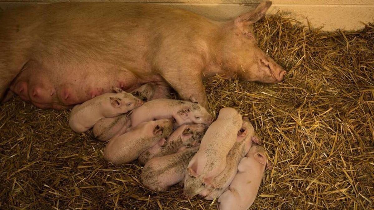 La cerda Matilda escapa de una granja embarazada para dar a luz a sus 9 crías en libertad