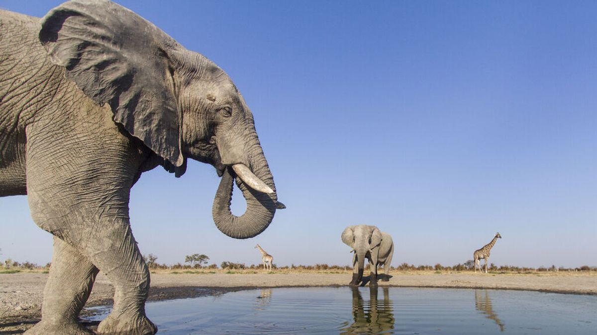 La construcción de pozos petroleros pone en riesgo a 130.000 elefantes en Namibia y Botswana