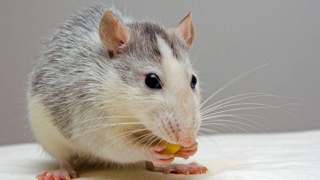 El ratón de Gould, especie autóctona de Australia que se daba por extinguida, reaparece tras 150 años