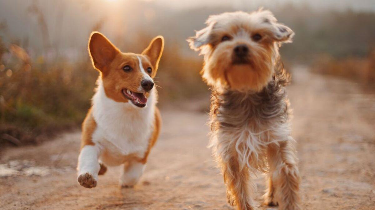 ¿Cuáles son las razas de perro que mejor se adaptan a viviendas pequeñas?