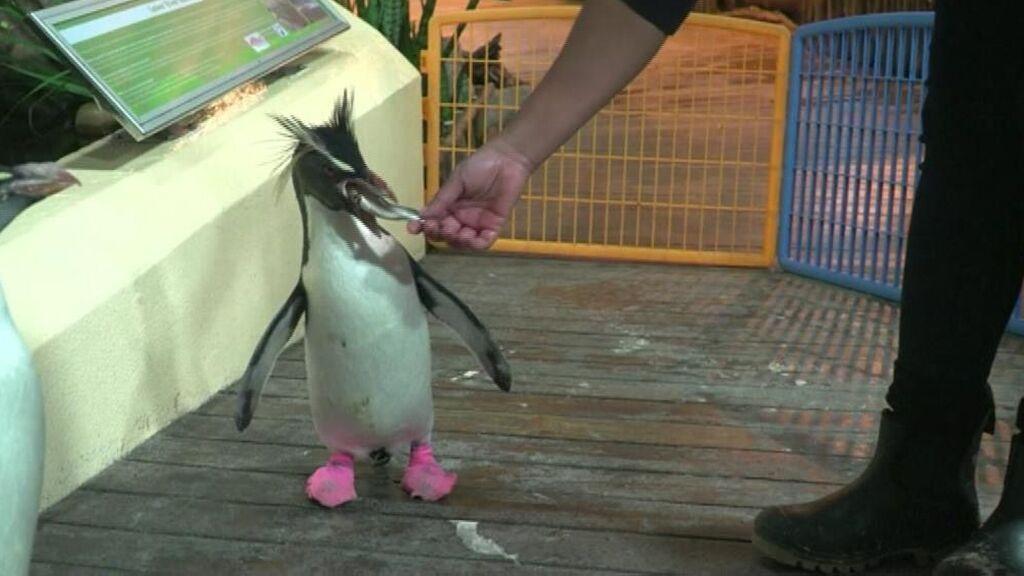 Los pingüinos del acuario de Ciudad del Cabo usan calcetines por la salud de sus pies