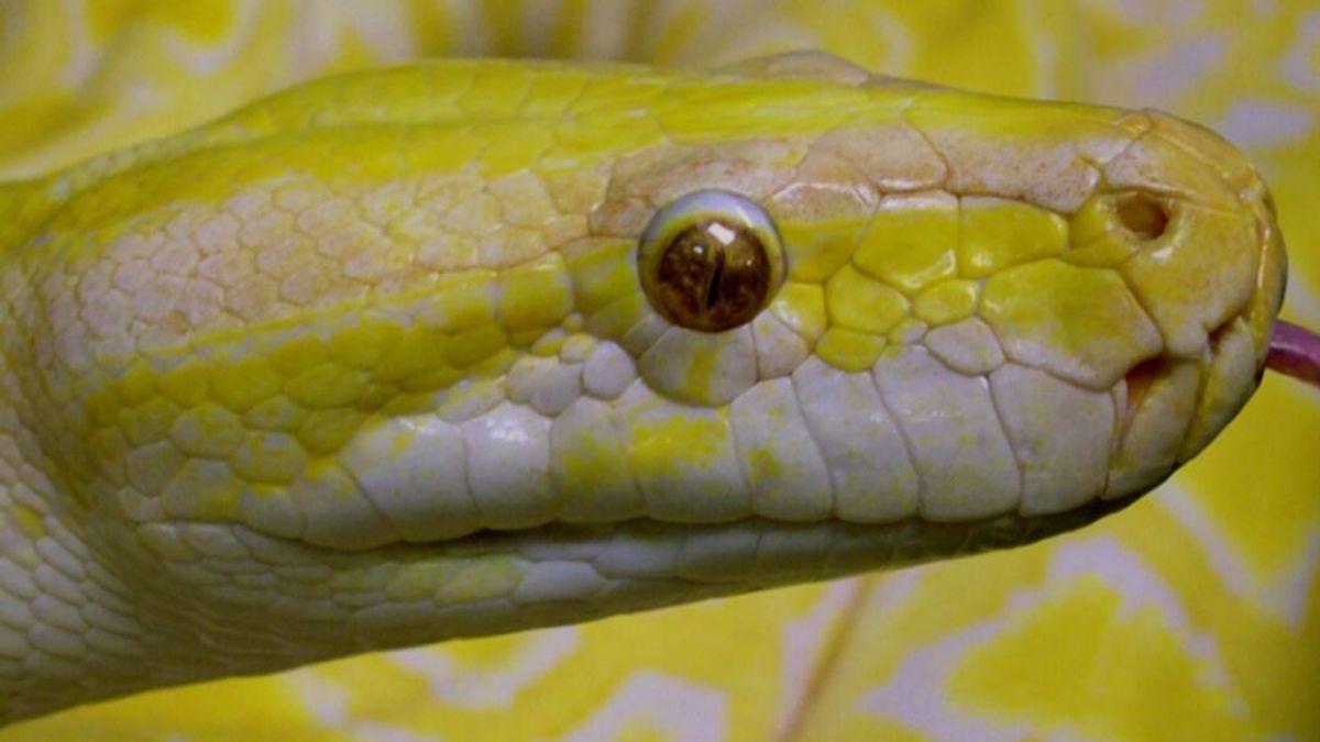 Una serpiente pitón muerde en los genitales a un hombre sentado en el inodoro de su casa: se coló por la tuberia