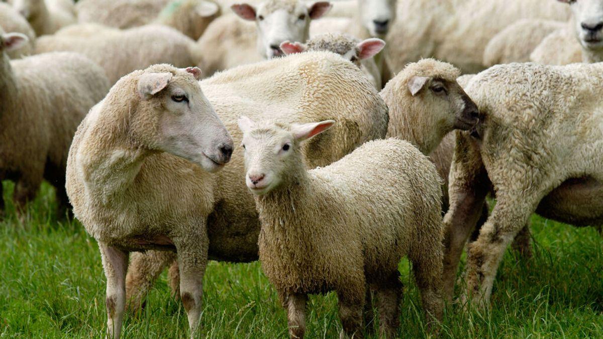 Condenan a un granjero de Nueva Zelanda por provocar el sacrificio de 226 ovejas