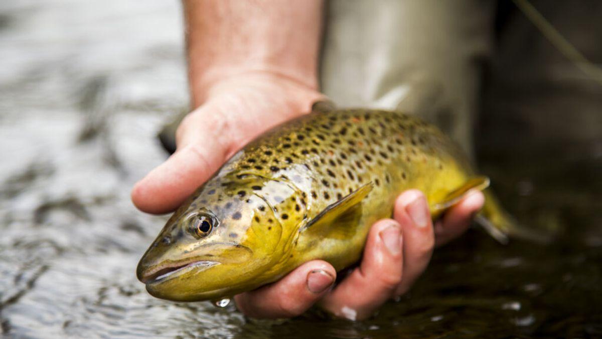 Los peces se vuelven adictos a la metanfetamina en ríos contaminados y sufren abstinencia
