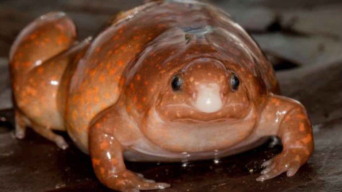 Hallan una 'rana zombi' de especie desconocida que solo se ve cuando llueve