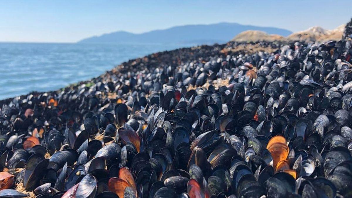 La costa canadiense amanece plagada de mejillones hervidos y estrellas de mar muertas por la ola de calor
