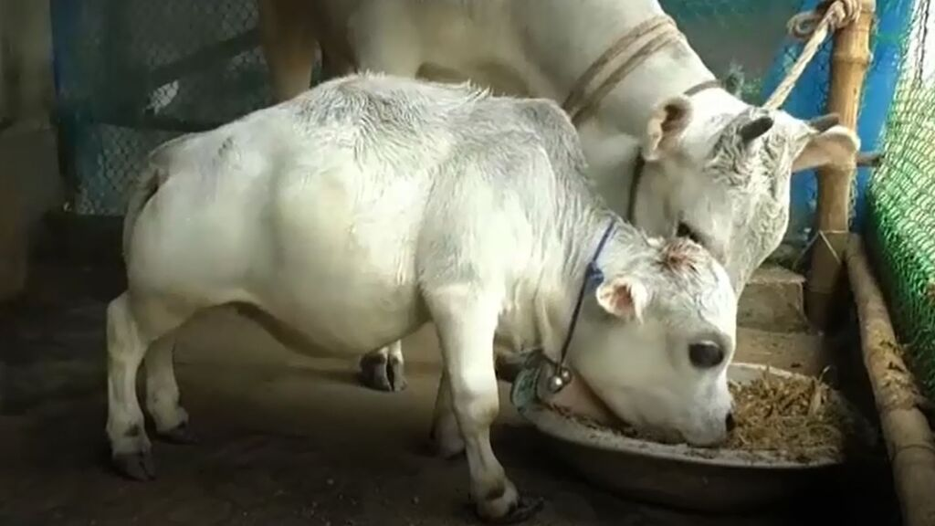 Cientos de personas ignoran las restricciones por covid en Bangladesh para ver a una vaca enana