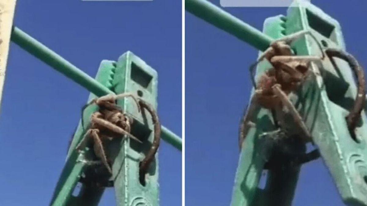 Descubren una aterradora araña oculta en una pinza para colgar la ropa