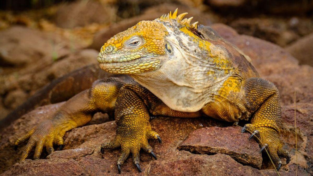¿Por qué los humanos y los perros no soportamos el calor como una iguana?