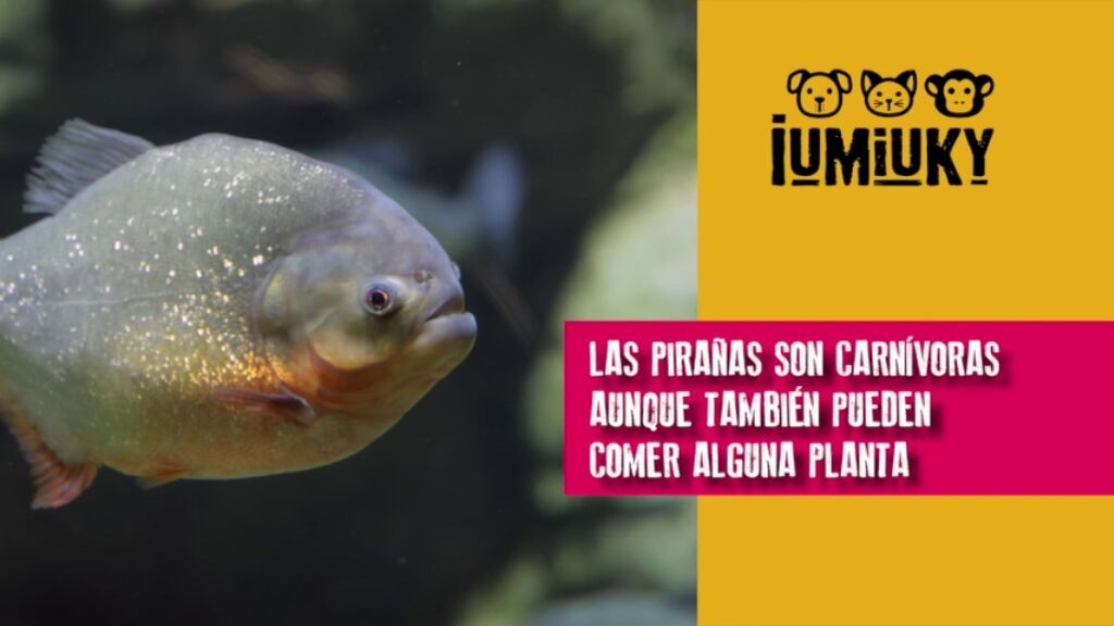 IUMIUKY PGM 65