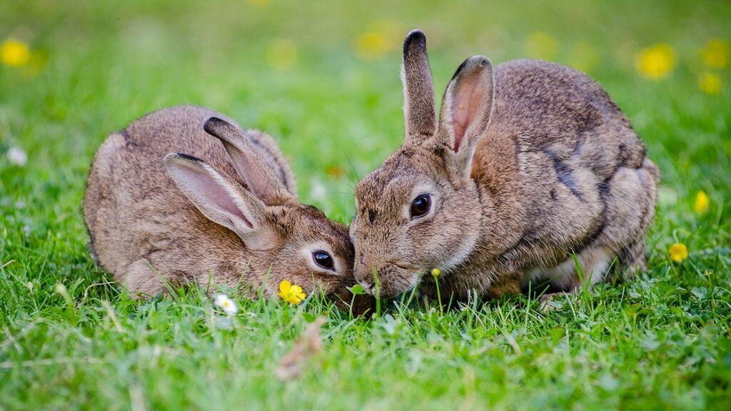 Más de 400 conejos se apoderan de un barrio de Auckland por la reproducción sin control de 4 mascotas