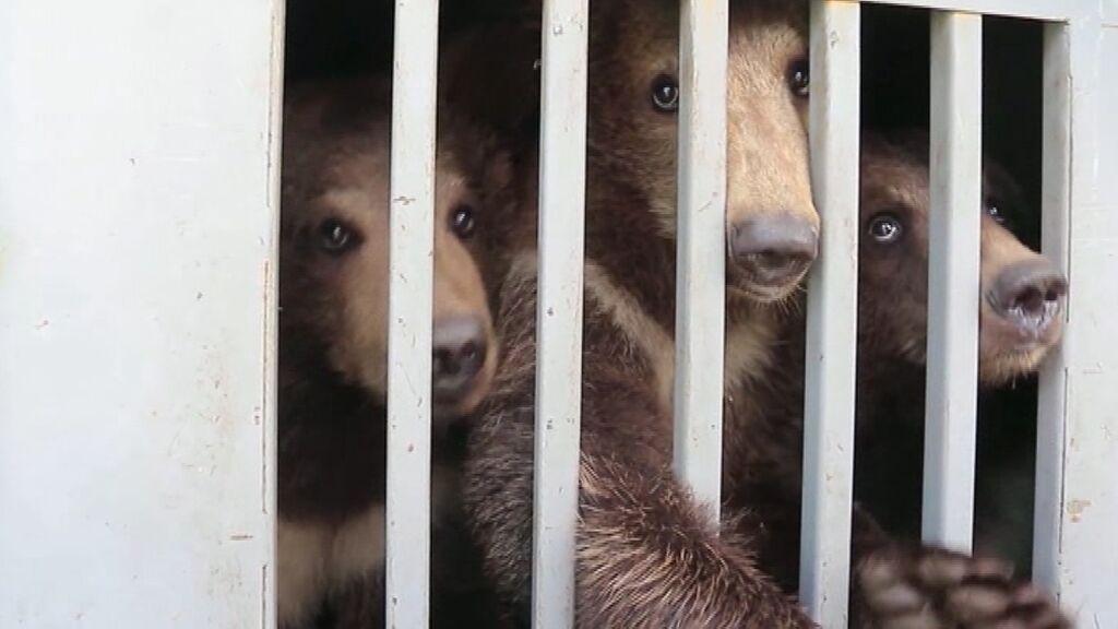 Tres crías de oso pardo han sido trasladadas en Ucrania a un santuario dedicado a su especie