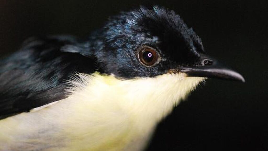 """""""Todo son machos, ni rastro de las hembras"""": hallan un misterioso pájaro en las montañas de Nueva Guinea"""