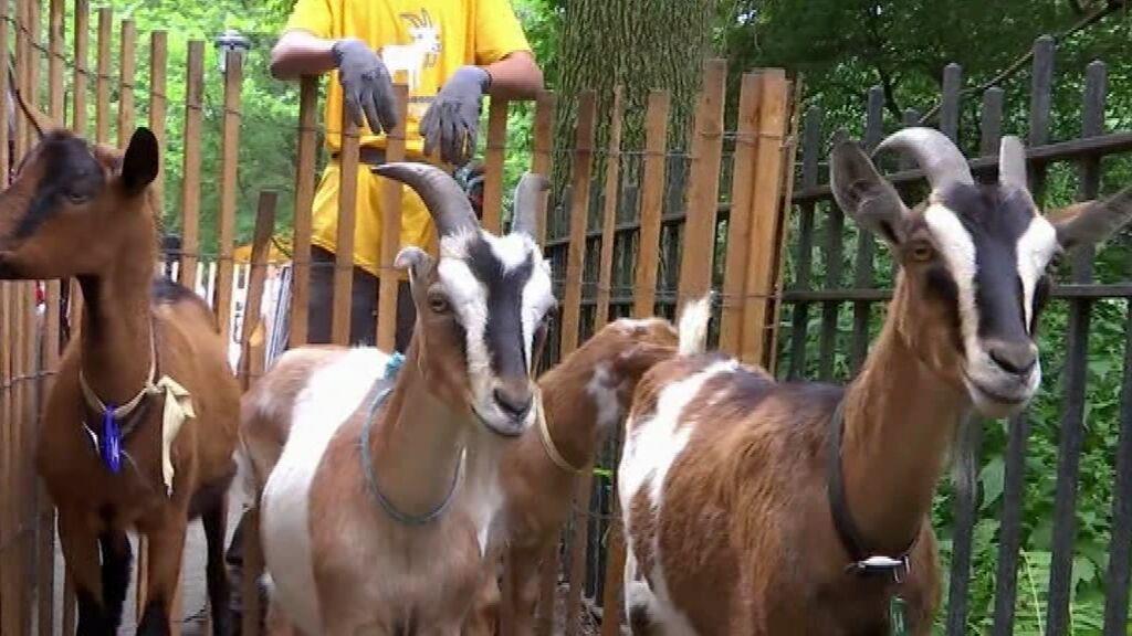 Nuevo método para eliminar la maleza de los parques de Nueva York: soltar cabras hambrientas