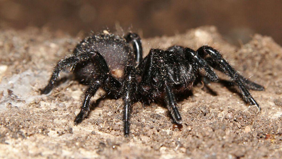 Descubren que el veneno de una mortífera araña podría 'reparar' los corazones de víctimas de infartados