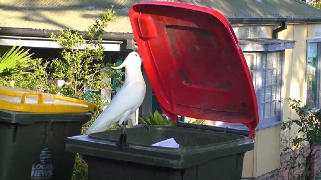 Demuestran el aprendizaje social entre cacatúas para abrir cubos de basura en Australia