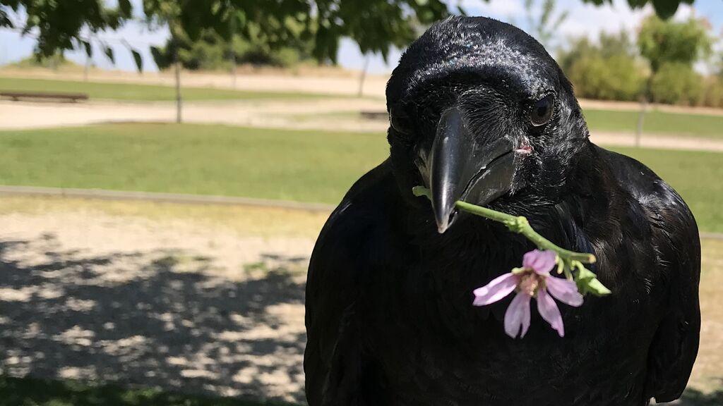 Así es el día a día con Vanta, el cuervo que cosecha más de 500 mil seguidores en redes sociales