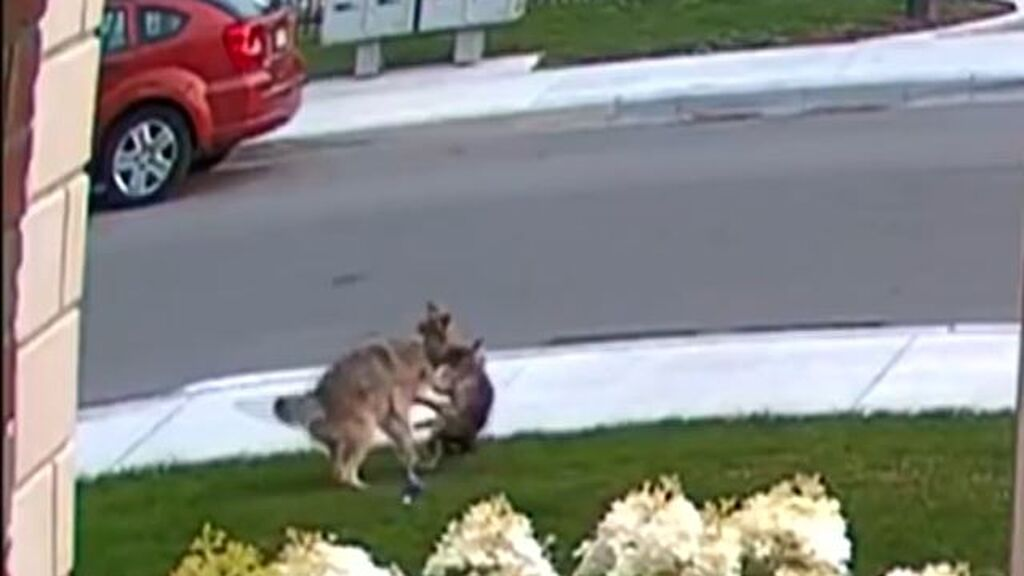 Una  Yorkshire le planta cara a un coyote para defender a su dueña