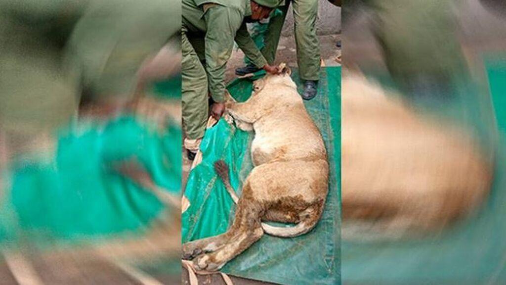 Un león siembra el pánico al escapar del parque natural de Nairobi y colarse en una barriada