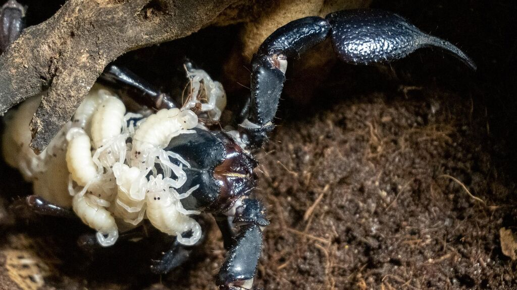 Nace en Bioparc Valencia el escorpión 'más grande del mundo'