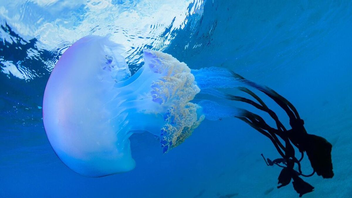 ¿Qué son las extrañas medusas gigantes que están apareciendo en Granada?