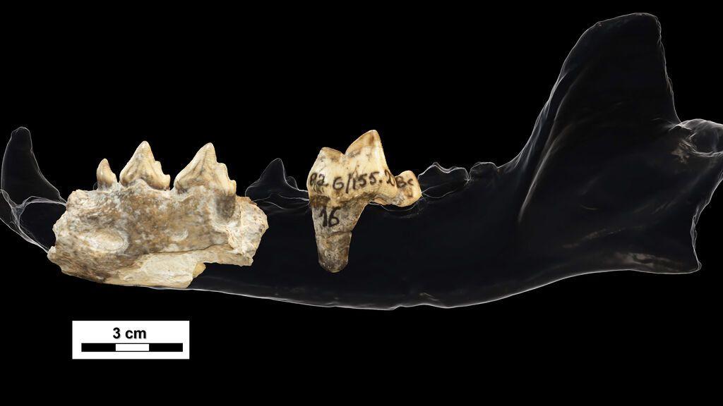 Hallan un ancestro fósil del lobo de las sabanas africanas en el yacimiento de Dmanisi