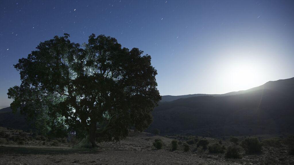 La Peana, el árbol más antiguo de Andalucía, apuntalado y en peligro de desaparecer